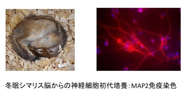 冬眠シマリス脳からの神経細胞初代培養:MAP2免疫染色 の図