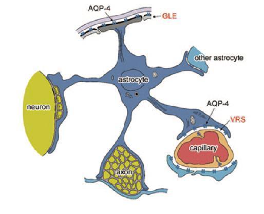世界初の水チャンネル蛋白・アクアポリン4促進化合物開発に関する研究成果が新聞に掲載されました