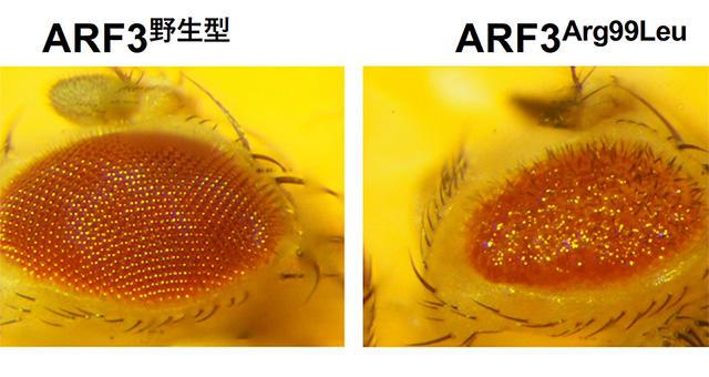 新たなARF3の遺伝子変異を発見